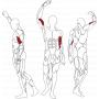 BH FITNESS L130 BICEPS svalové partie
